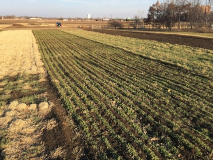 Green pennycress was evident at a U of M test plot on March 13, 2015, soon after the snow had melted. (Photo courtesy of the University of Minnesota)